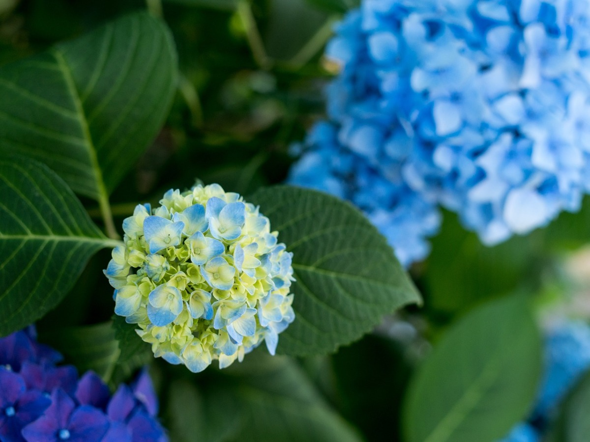 Hydrangeas (new flash fiction)